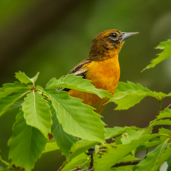 Female Baltimore Oriole peaking thru the green leaves in a square format