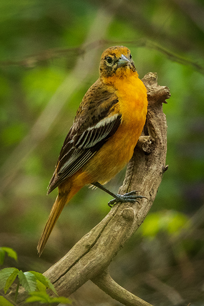 Female Baltimore Oriole posing on a branch