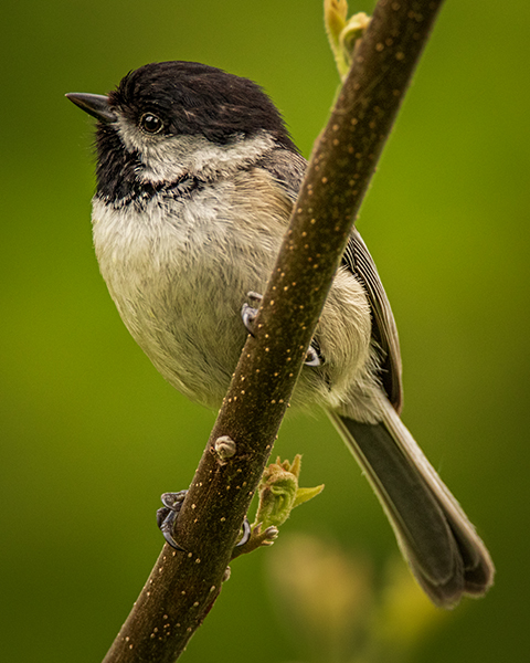 Carolina Chickadee perched on branch with nice feather detail