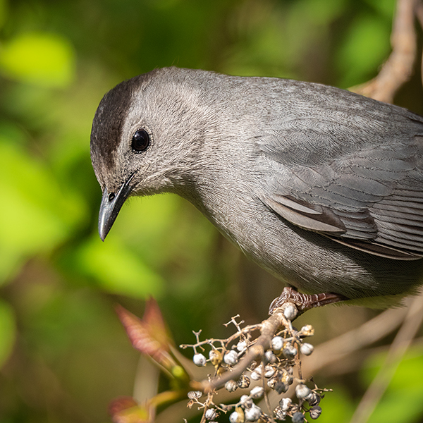 Gray Catbird eating Poison Ivy berries