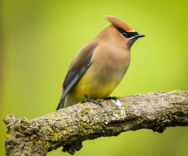 Cedar Waxwing perched on a branch with a soft green background