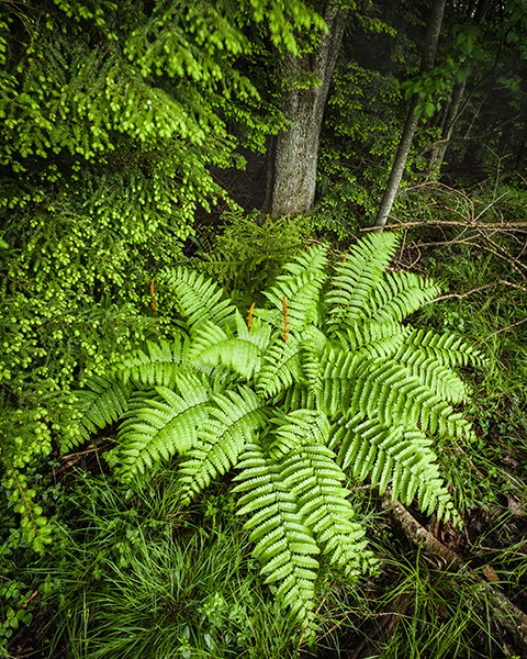 Cinnamon fern at the on the edge of the green woods