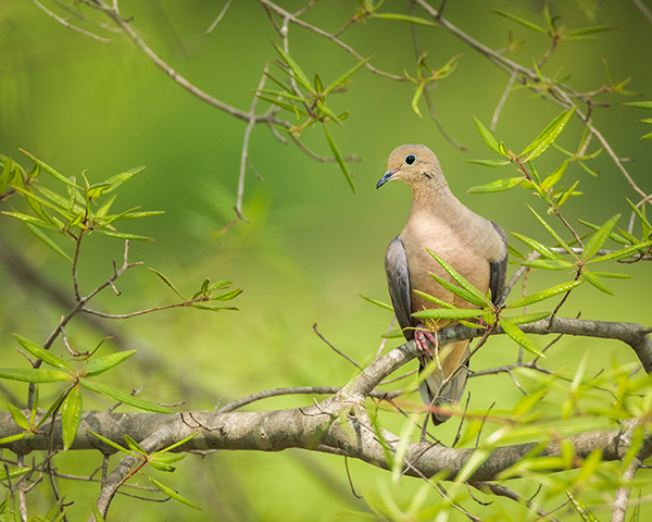 Dove perched on a limb surrounded in green