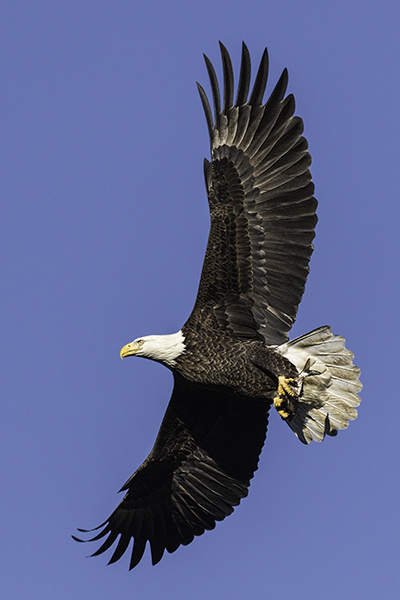 Eagle flying with it's wings spread