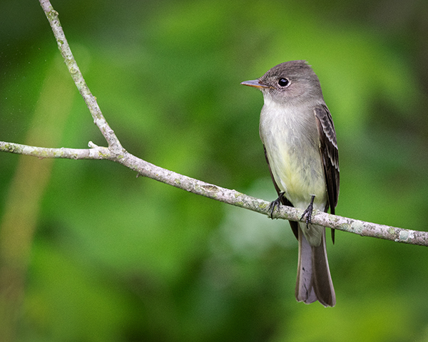 Eastern Phoebe perched on branch in Bombay Hook National Wildlife Refuge