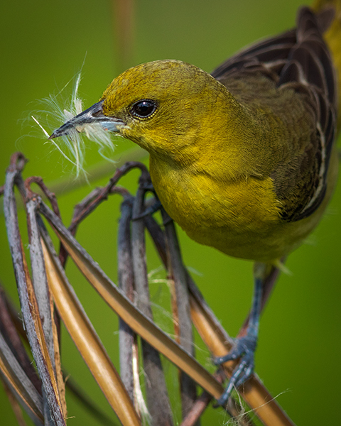 Female Orchard Oriole gathering nest material in Bombay Hook National Wildlife Refuge