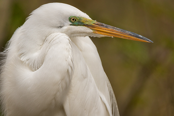 Great Egret in close up side profile