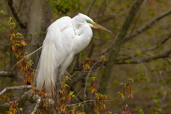 Great Egret perched In tree with breeding plumage