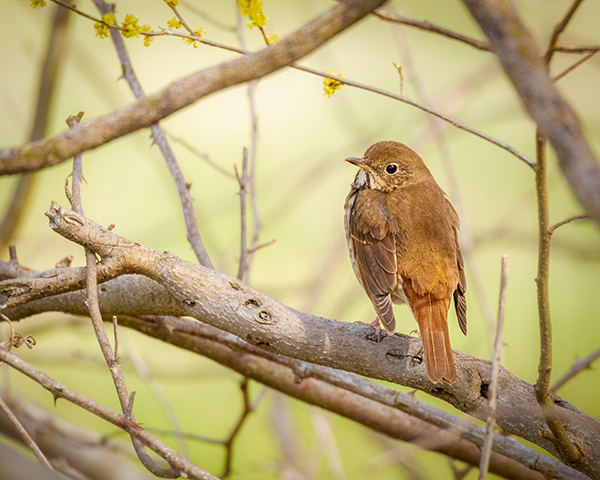Hermit Thrush framed in branches looking over its shoulder