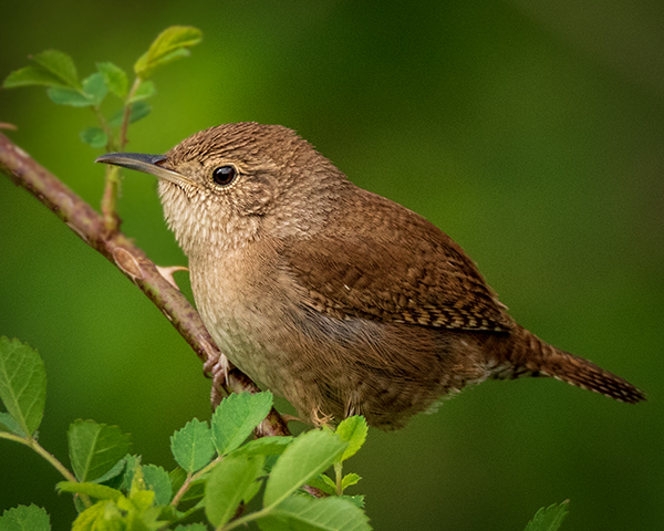 House Wren with nice feather detail and green background
