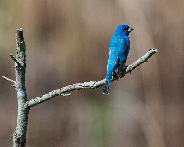 Indigo Bunting perched on dead branch in Bombay Hook National Wildlife Refuge