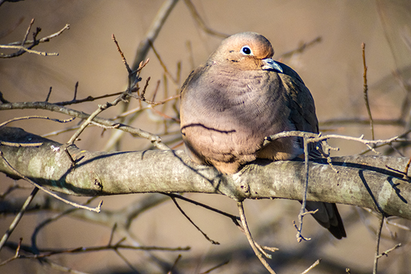 Morning Dove resting on a tree branch in winter