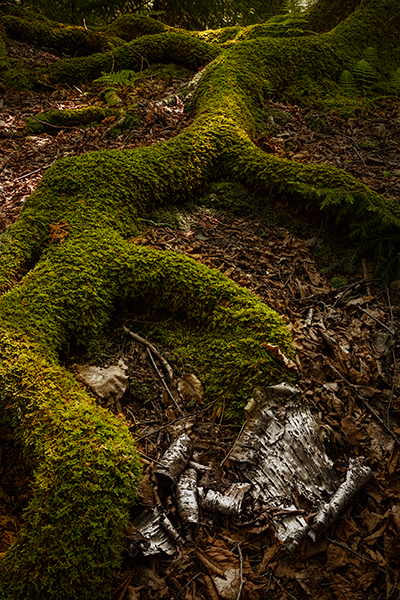 Blackwater Falls State Park West Virginia a moss covered root reaching out