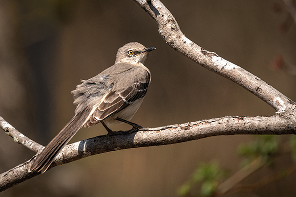 Northern Mockingbird posing on a branch with soft brown background