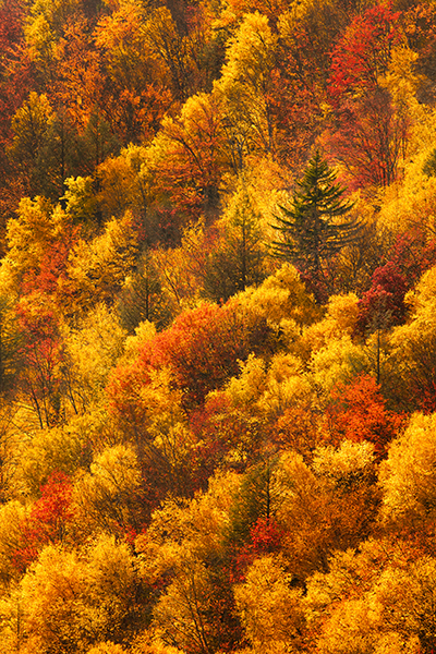Blackwater State Park at Pendelton Point with incredible fall colors of gold, red and green
