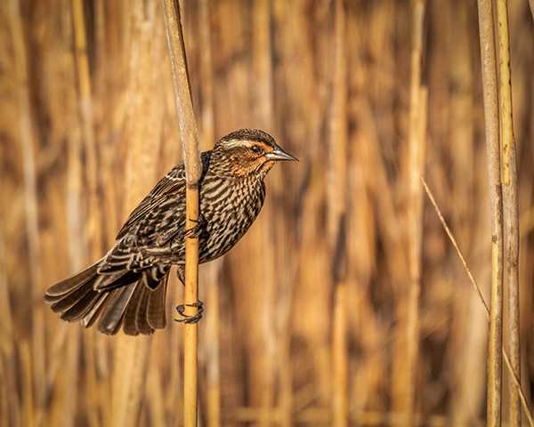 Female Redwing Blackbird on posing on Phragmites reed