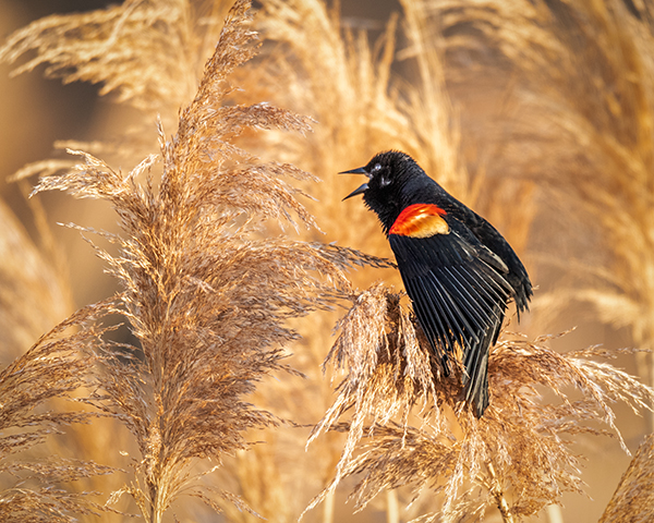 Male Redwing Blackbird displaying perched in Phragmites side profile
