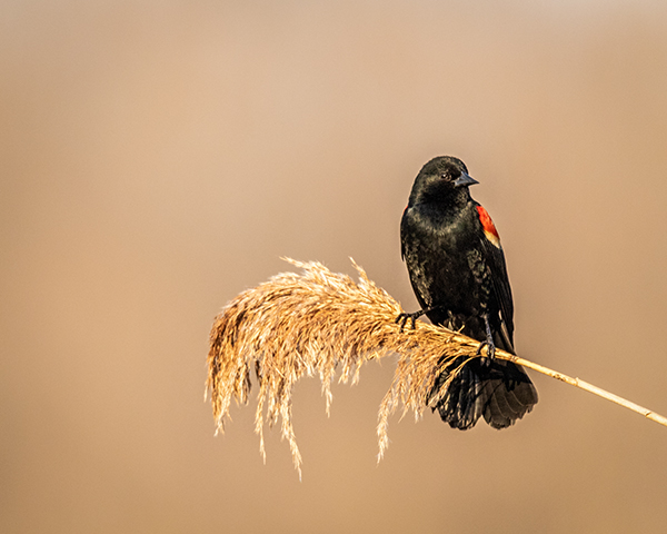 Lone male Redwing Blackbird perched on Phragmites