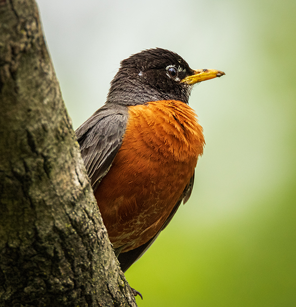 Robin perched in tree with nice feather detail