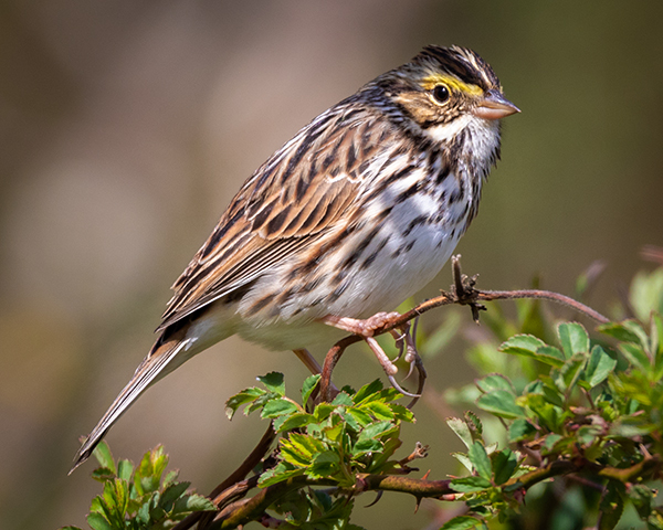 Savanna Sparrow bathed in light