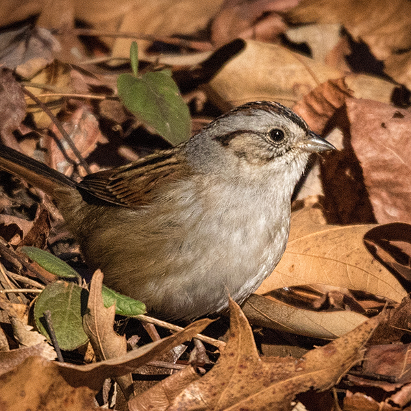 Swamp Sparrow in the dead brown leaves on the ground