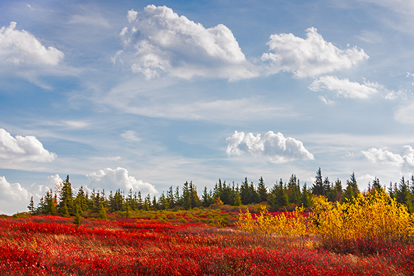 Dolly Sods, Blue Sky, Puffy Clouds, Red Cranberry and golden leaves