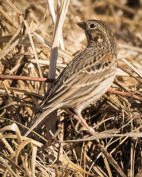 Vesper Sparrow looking left