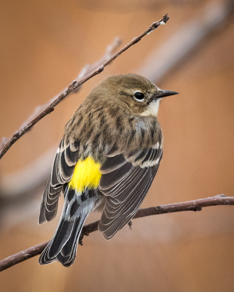 Yellow Rumped Warbler showing it's yellow rump